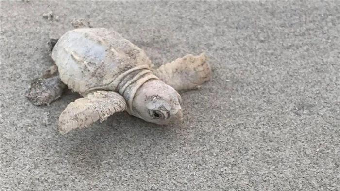 Rùa biển màu trắng siêu quý hiếm xuất hiện tại Mỹ - 2