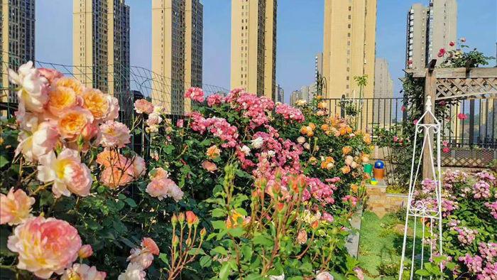 Sân thượng chung cư quanh năm rực rỡ ngát hương với hàng trăm loại hoa hồng - Ảnh 18.