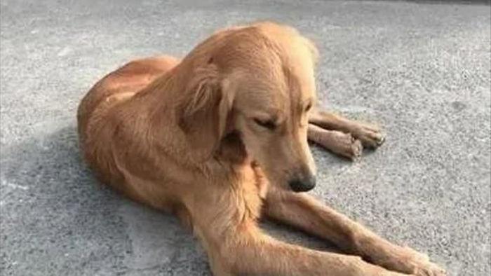 Chú chó trung thành đi bộ 100km để tìm trở về nhà chủ cũ - 1