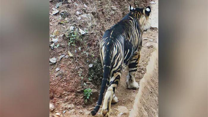 Hổ đen cực hiếm được phát hiện ở Ấn Độ - 3