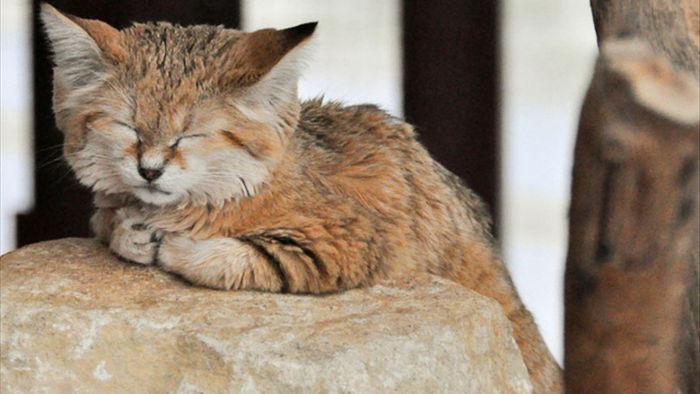 Sự thật thú vị về Mèo Cát - loài tiểu hổ duy nhất có thể sống trên sa mạc - Ảnh 1.