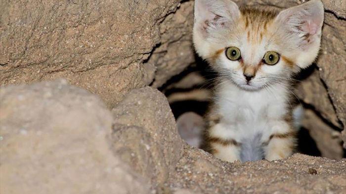 Sự thật thú vị về Mèo Cát - loài tiểu hổ duy nhất có thể sống trên sa mạc - Ảnh 5.