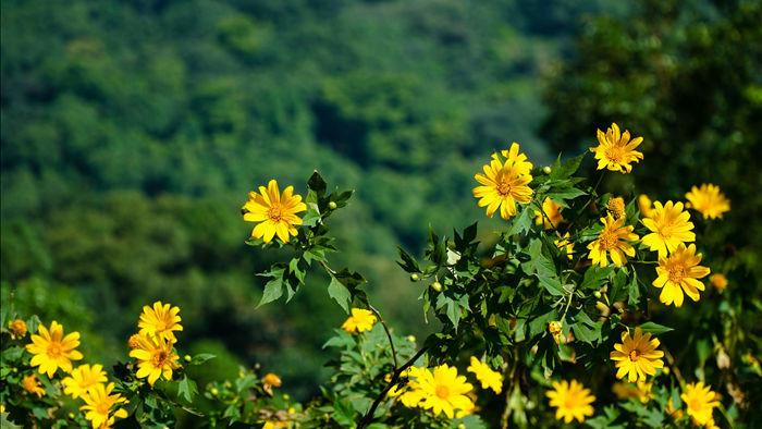 Ngắm đồi hoa dã quỳ bung sắc nhuộm vàng đỉnh núi Ba Vì - 4