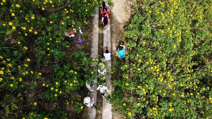 Ngắm đồi hoa dã quỳ bung sắc nhuộm vàng đỉnh núi Ba Vì - 10