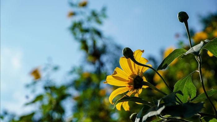 Ngắm đồi hoa dã quỳ bung sắc nhuộm vàng đỉnh núi Ba Vì - 1