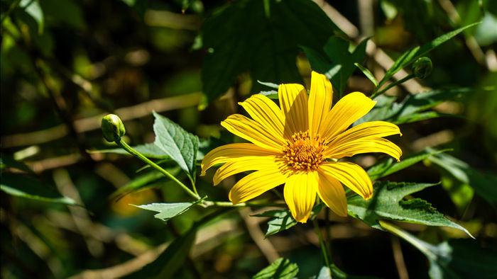 Ngắm đồi hoa dã quỳ bung sắc nhuộm vàng đỉnh núi Ba Vì - 3