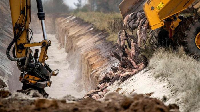 Chùm ảnh kinh hoàng: Hàng triệu con chồn bị thảm sát tại Đan Mạch sau khi phát hiện có dấu vết virus corona chủng đột biến - Ảnh 1.