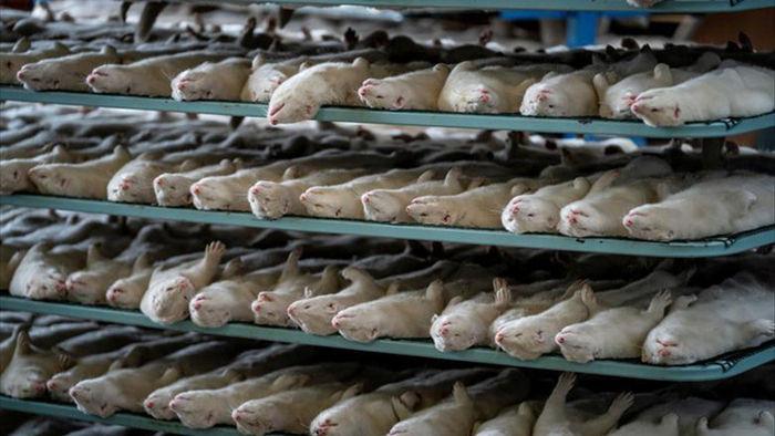 Chùm ảnh kinh hoàng: Hàng triệu con chồn bị thảm sát tại Đan Mạch sau khi phát hiện có dấu vết virus corona chủng đột biến - Ảnh 4.