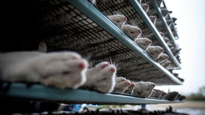 Chùm ảnh kinh hoàng: Hàng triệu con chồn bị thảm sát tại Đan Mạch sau khi phát hiện có dấu vết virus corona chủng đột biến - Ảnh 5.
