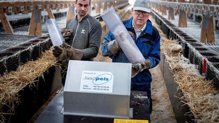 Chùm ảnh kinh hoàng: Hàng triệu con chồn bị thảm sát tại Đan Mạch sau khi phát hiện có dấu vết virus corona chủng đột biến - Ảnh 6.