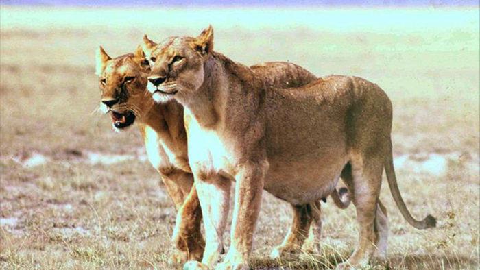 Những con vật mang bụng bầu nặng nề nhìn đến thương: Dù là con người hay loài vật, thiên chức làm mẹ luôn là điều thiêng liêng cao quý - Ảnh 6.
