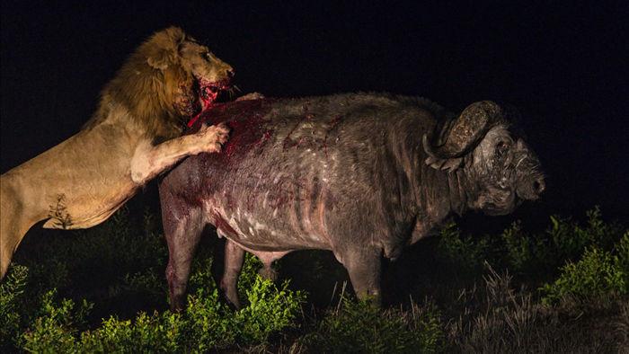 Trâu rừng kịch chiến 2 sư tử đực trong đêm và chiến thắng đầy ngoạn mục - Ảnh 1.