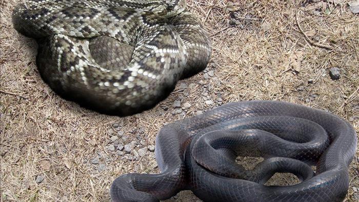 Cơn ác mộng của rắn đuôi chuông, nọc độc cũng bất lực khi bị kẻ thù ăn thịt dần từ đuôi lên đầu - Ảnh 1.