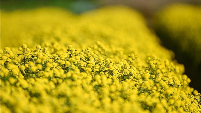 Hoa cúc tiến Vua Hưng Yên vào mùa vàng rực - 9