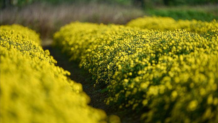 Hoa cúc tiến Vua Hưng Yên vào mùa vàng rực - 15