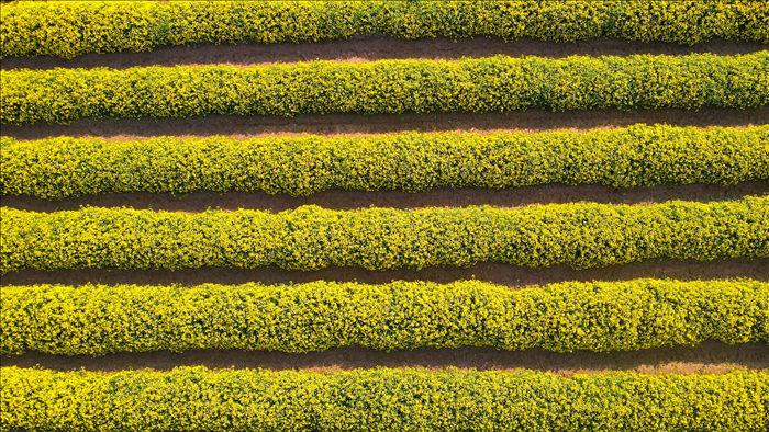 Hoa cúc tiến Vua Hưng Yên vào mùa vàng rực - 8