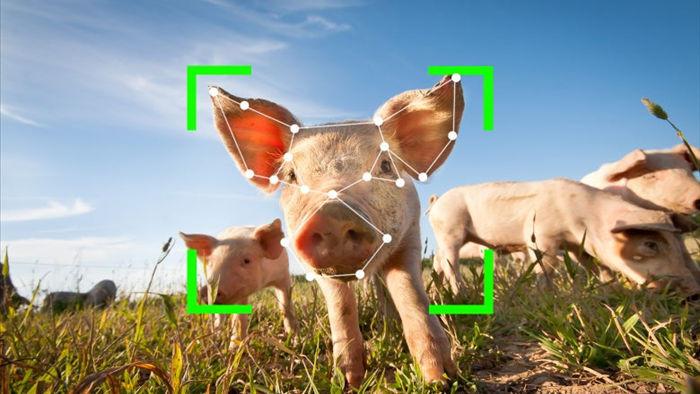 TQ: Nhận diện khuôn mặt cho lợn, người giàu vui mừng, người nghèo lo phá sản - Ảnh 1.