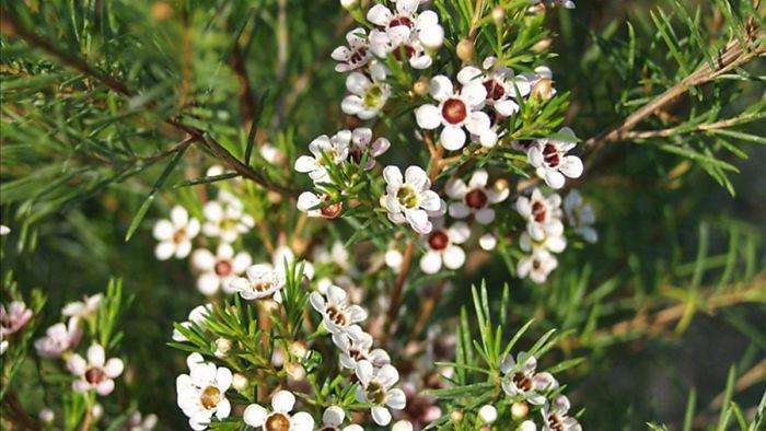 Loại hoa này nhỏ xinh nhưng rất bắt mắt vì có nhiều màu rực rỡ.