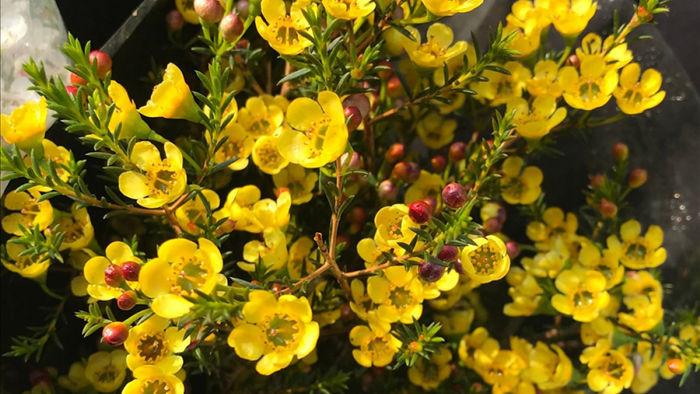 Hoa thanh liễu nhỏ xinh, có năm cánh khi bung nở.