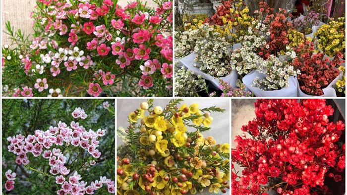 Thanh liễu là loài cây có sức sống mãnh liệt, hoa tươi rất lâu nên được nhiều chị em lựa chọn để trang trí dịp Giáng Sinh năm nay.