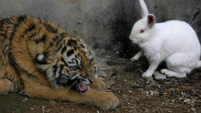Sở thú thả thỏ vào chuồng cho hổ ăn: Hôm sau quay lại, cảnh tượng trước mắt khiến họ kinh ngạc - Ảnh 1.