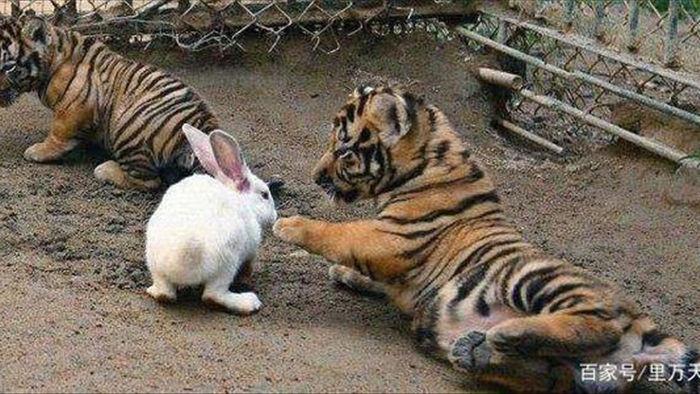 Sở thú thả thỏ vào chuồng cho hổ ăn: Hôm sau quay lại, cảnh tượng trước mắt khiến họ kinh ngạc - Ảnh 3.