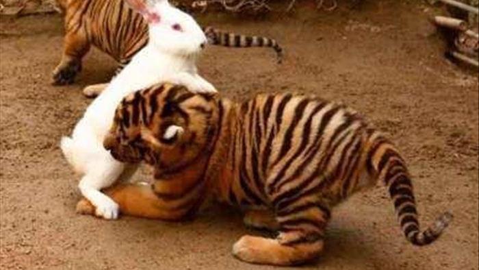 Sở thú thả thỏ vào chuồng cho hổ ăn: Hôm sau quay lại, cảnh tượng trước mắt khiến họ kinh ngạc - Ảnh 5.