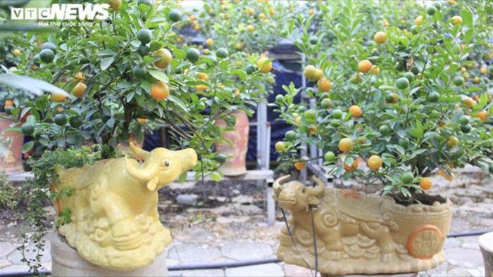 Chưa đến Tết Tân Sửu, quất bonsai trĩu quả đã đắt hàng - 1