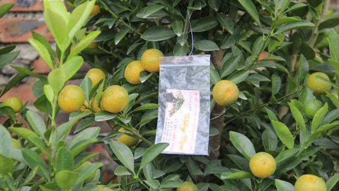 Chưa đến Tết Tân Sửu, quất bonsai trĩu quả đã đắt hàng - 7