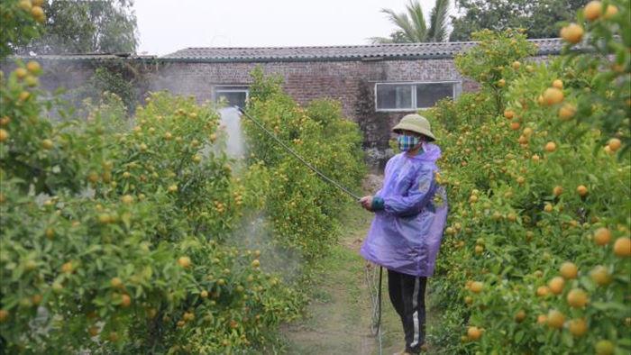 Chưa đến Tết Tân Sửu, quất bonsai trĩu quả đã đắt hàng - 9