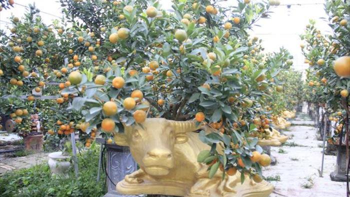 Chưa đến Tết Tân Sửu, quất bonsai trĩu quả đã đắt hàng - 2