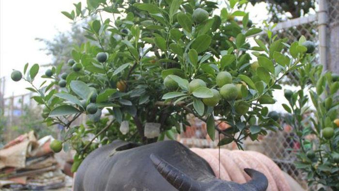 Chưa đến Tết Tân Sửu, quất bonsai trĩu quả đã đắt hàng - 5