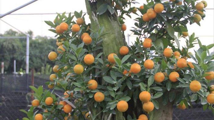 Chưa đến Tết Tân Sửu, quất bonsai trĩu quả đã đắt hàng - 12