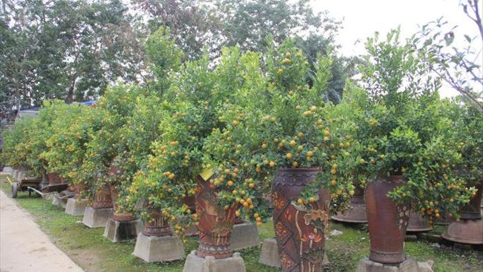 Chưa đến Tết Tân Sửu, quất bonsai trĩu quả đã đắt hàng - 8