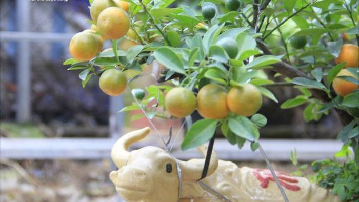 Chưa đến Tết Tân Sửu, quất bonsai trĩu quả đã đắt hàng - 4