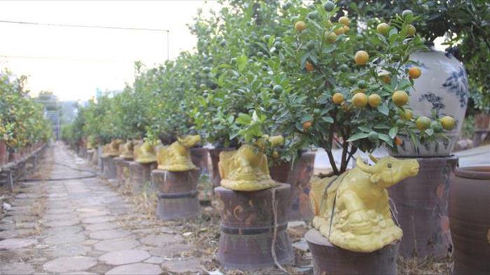 Chưa đến Tết Tân Sửu, quất bonsai trĩu quả đã đắt hàng - 3