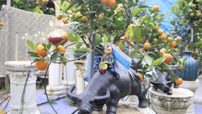 Chưa đến Tết Tân Sửu, quất bonsai trĩu quả đã đắt hàng - 6