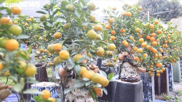 Chưa đến Tết Tân Sửu, quất bonsai trĩu quả đã đắt hàng - 11