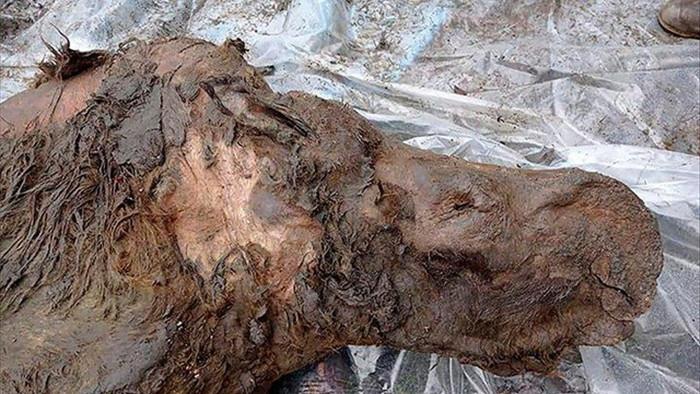 Hé lộ hài cốt tê giác lông mượt cổ đại được bảo quản tốt một cách kỳ lạ - 2