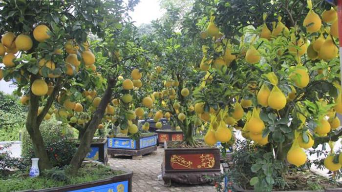 Ảnh: Ngắm bưởi Diễn bonsai hơn 100 quả, giá hàng chục triệu đồng - 10