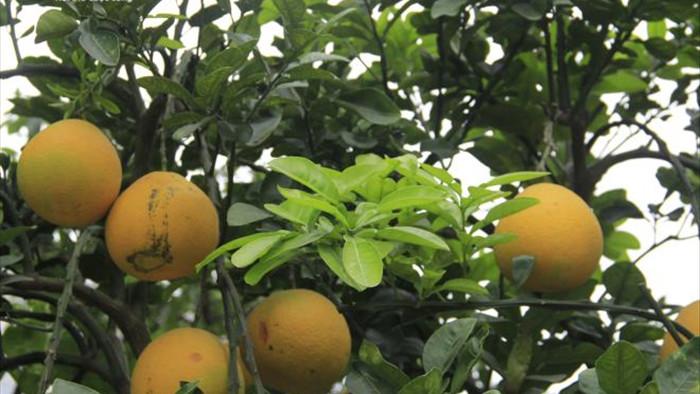 Ảnh: Ngắm bưởi Diễn bonsai hơn 100 quả, giá hàng chục triệu đồng - 6