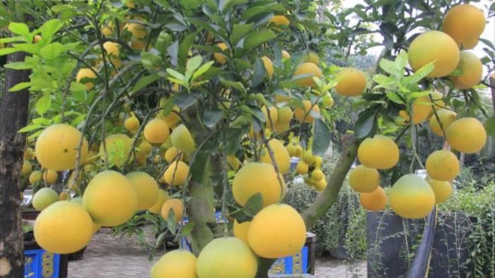 Ảnh: Ngắm bưởi Diễn bonsai hơn 100 quả, giá hàng chục triệu đồng - 4