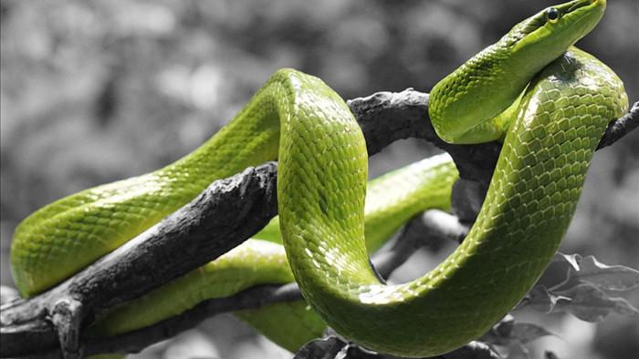 Các nhà khoa học đã phát hiện ra một cách di chuyển mới cực kỳ độc lạ của loài rắn - Ảnh 1.