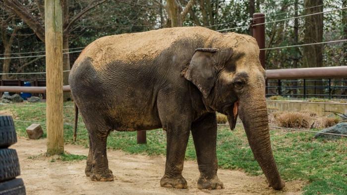 Dù bị nhốt nhưng voi trong sở thú vẫn chăm tập thể dục hơn cả con người - Ảnh 1.