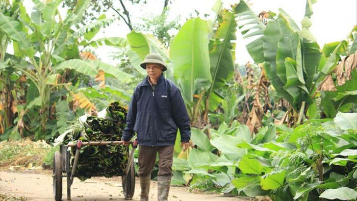Ngôi làng cổ 400 năm trồng lá dong ở Hà Nội, người dân hái lá đếm tiền - 2