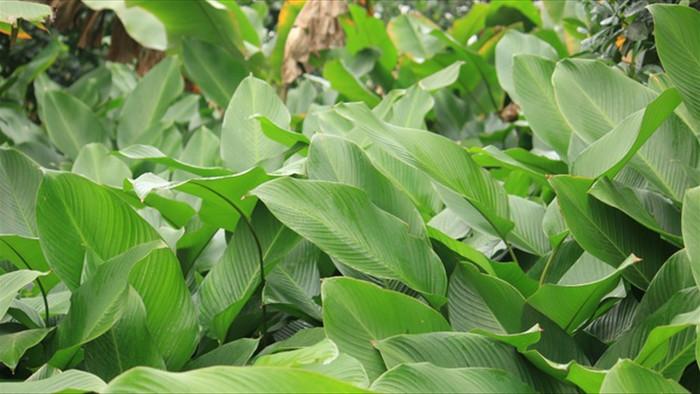 Ngôi làng cổ 400 năm trồng lá dong ở Hà Nội, người dân hái lá đếm tiền - 4