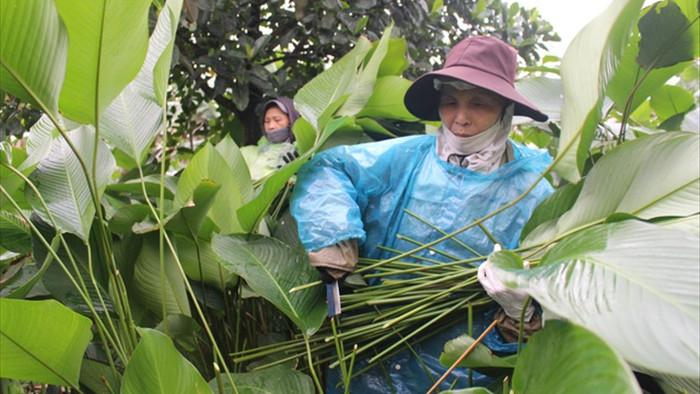 Ngôi làng cổ 400 năm trồng lá dong ở Hà Nội, người dân hái lá đếm tiền - 5
