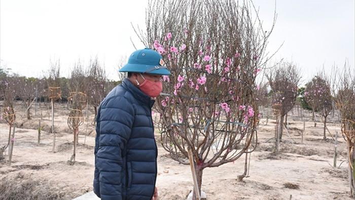 Đào Tết mắc kẹt vì COVID-19, nông dân Chí Linh nguy cơ ôm nợ khổng lồ - 1