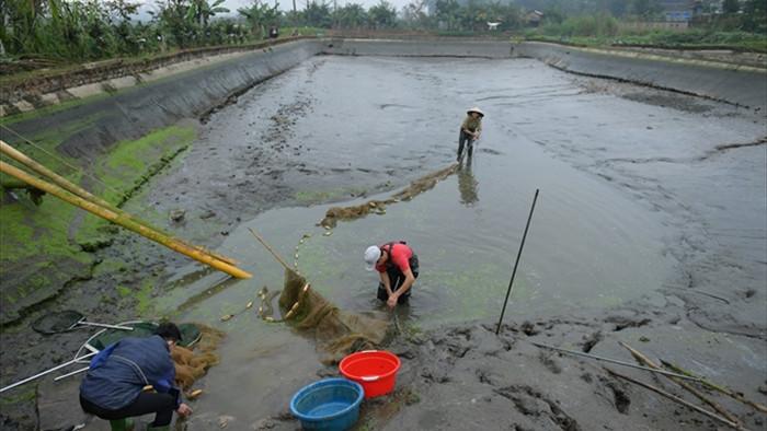 Ảnh: Hối hả lội bùn, nước thu hoạch cá chép đỏ trước ngày ông Công ông Táo - 1