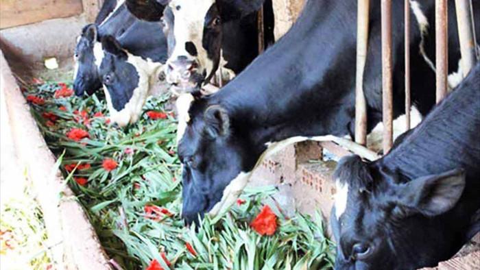 Giá hoa rẻ hơn cỏ voi, chính quyền kêu gọi 'giải cứu' lay ơn